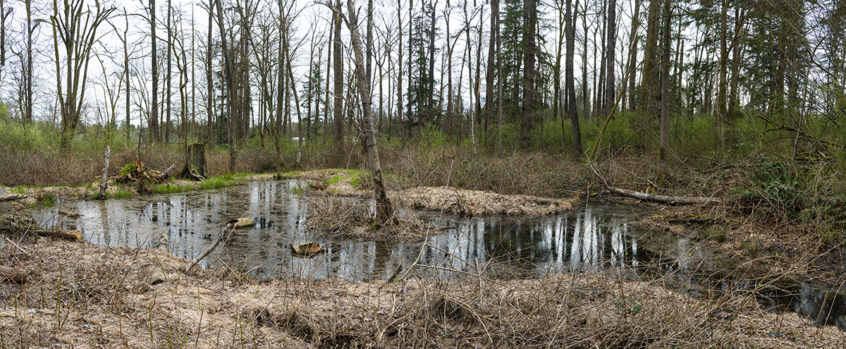 BCIT Burnaby South Campus Wetland March 2021.