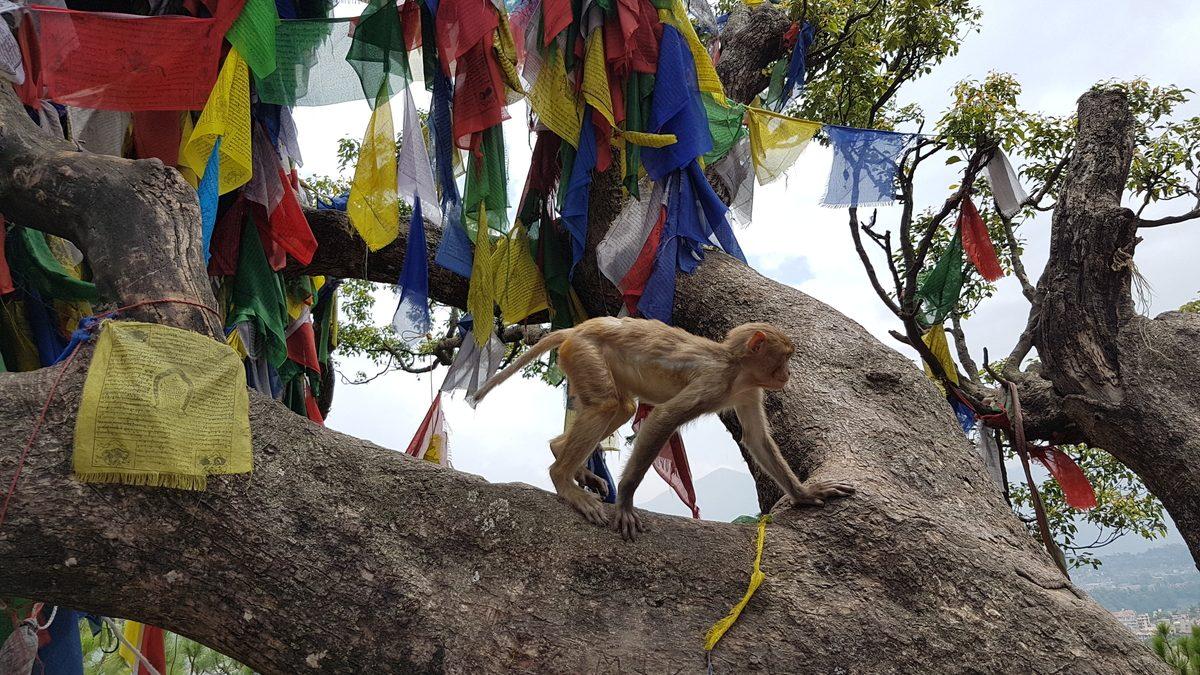 Nepal - Swayamhunath Temple - monkey