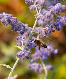 Honey bee investigates Russian sage.